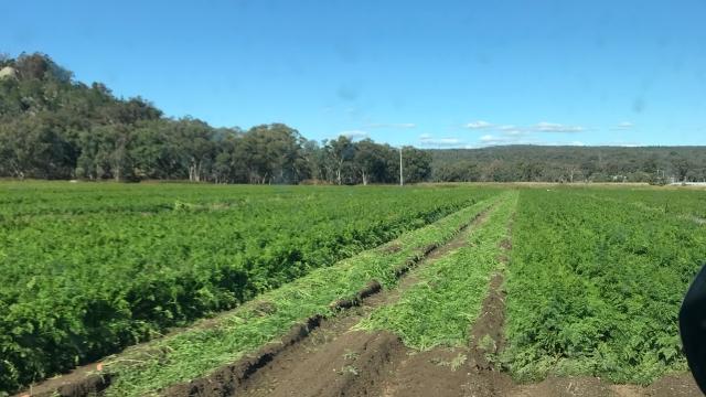fully grown carrots in a field